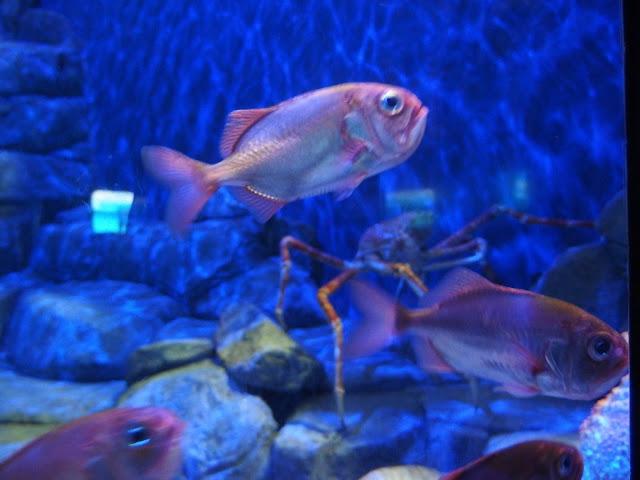 SEA Aquarium Singapore Giant Crab Exhibition Photobombed