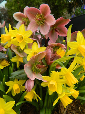 Toronto Botanical Garden daffodils and hellebores spring container by garden muses-not another Toronto gardening blog