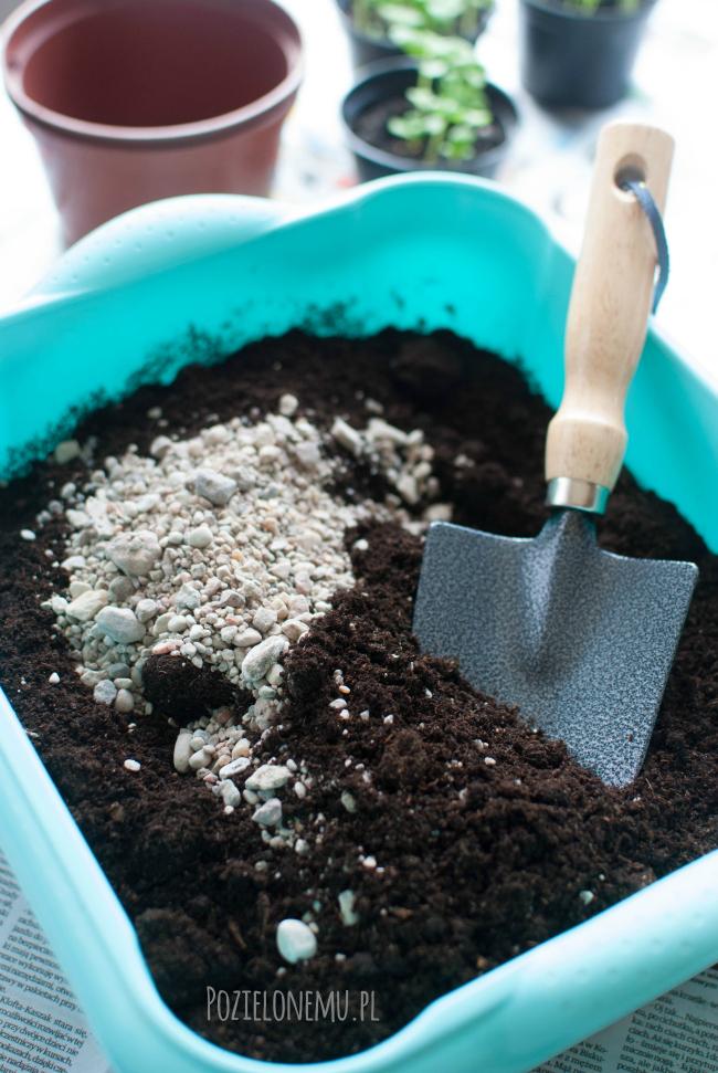 Ogród w doniczce: Jak uprawiać bazylię? Część 2 (pikowanie)