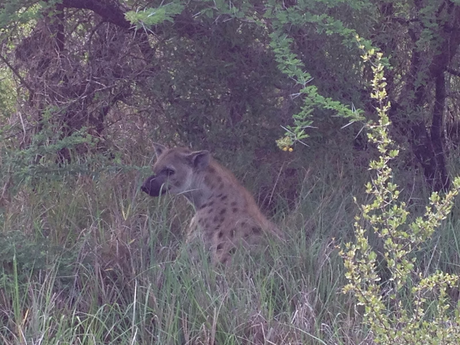Sabi Sands - Spotted another hyena