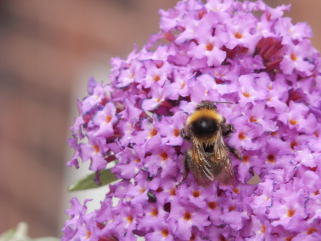 Bee on buddleia.  secondhandsusie.blogspot.co.uk