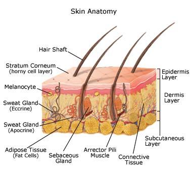 Anatomy & Physiology: Integumentary System