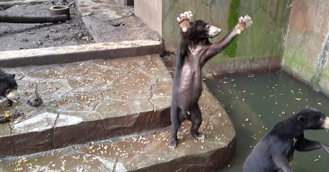 beruang-sun-bear-minta-makanan-zoo