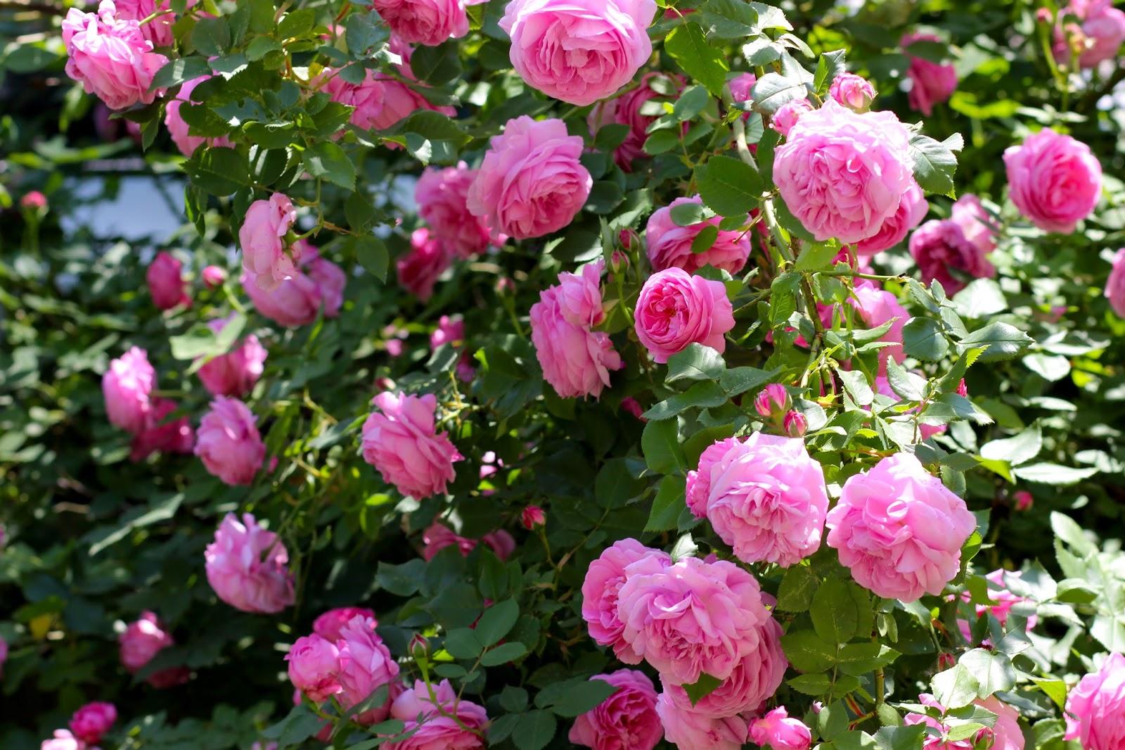 Открытка доброе утро лиля розы самое