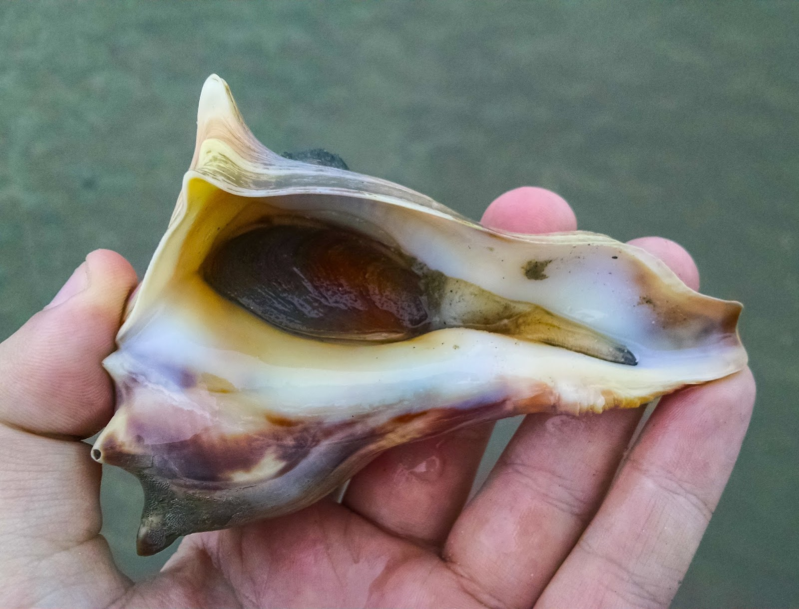 Knobbed Whelk