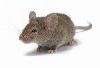 Tikus Bumbung atau Roof Rat - serai wangi afy haniff