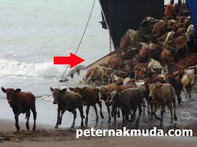 gambar kapal pengangkut ternak