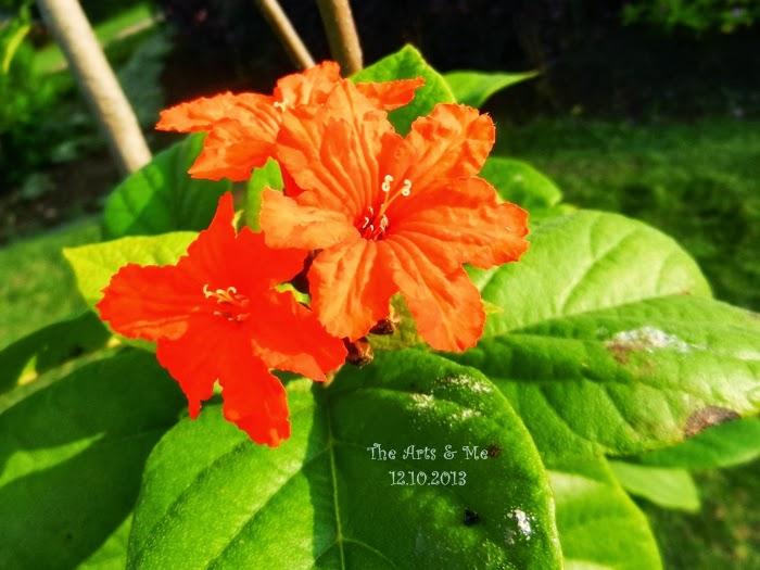 The Scarlet Flowers of Cordia sebestena