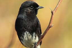 Cara Akurat Membedakan Burung Decu Jantan Dan Betina