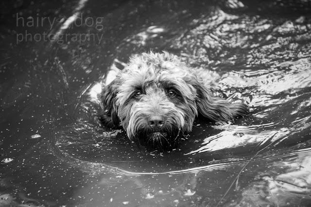 Swimming cockapoo by Aberdeen dog photographer, Jamie Emerson of Hairy Dog