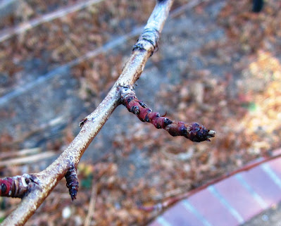 Peach Tree Spur
