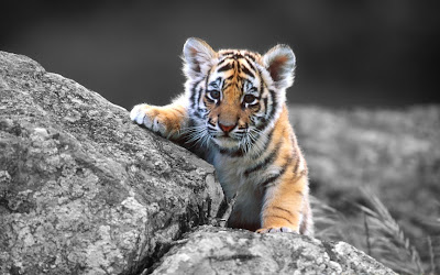 Cute Photo of Baby Tiger on Rocks