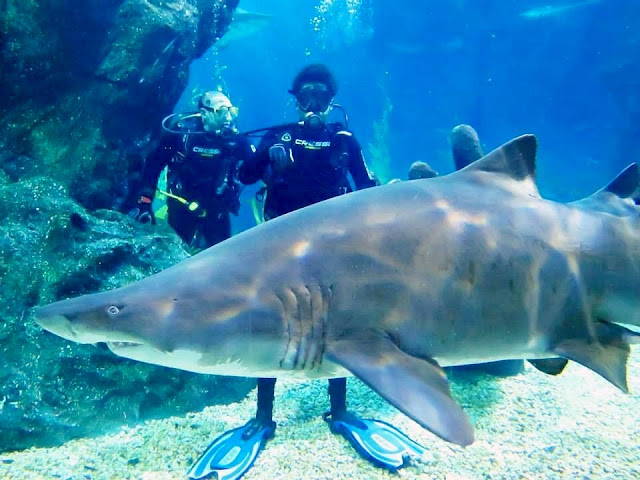Shark-diving is a once in a lifetime experience