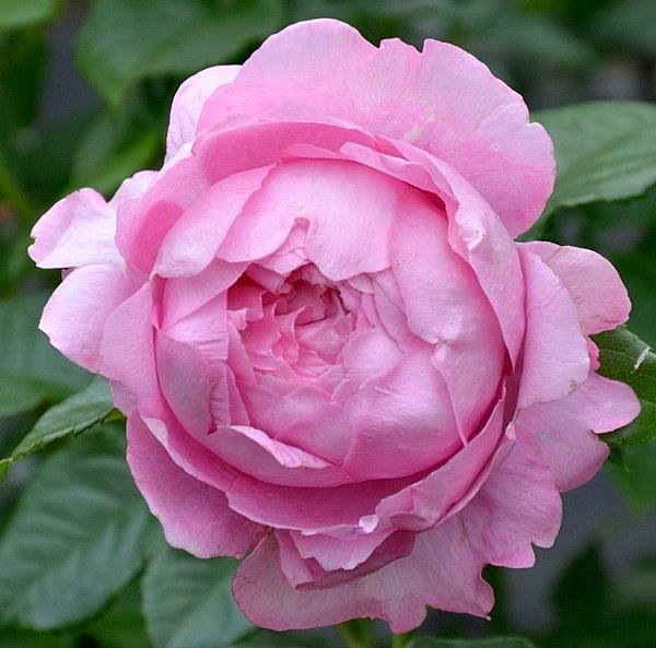 Chantal Merieux сорт розы фото