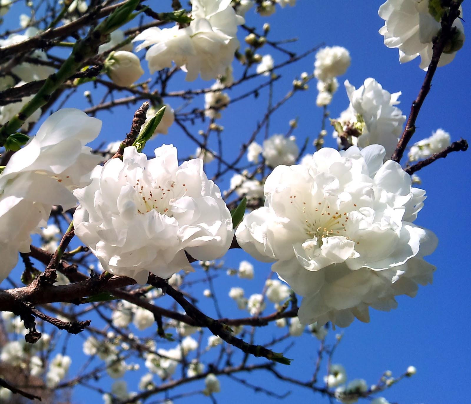 Rboles con alma melocotonero presseguer prunus persica - Arbol de rosas ...