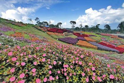 Puncak Tonang : Keindahan Alam Pasaman Berbalut Warna-warni Bunga