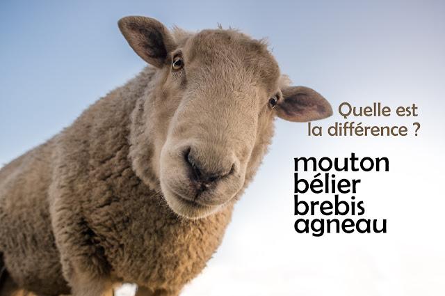 mouton bélier brebis agneau différence