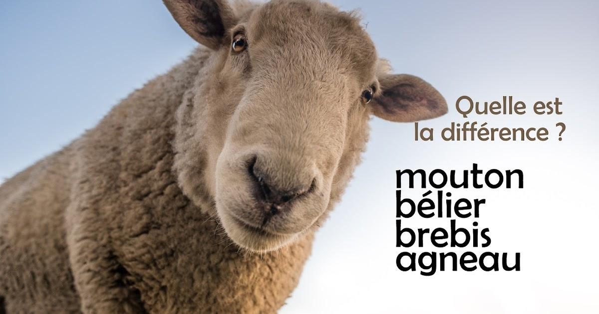 mouton b lier brebis et agneau quelle est la diff rence le fran ais entre quat 39 z 39 yeux. Black Bedroom Furniture Sets. Home Design Ideas