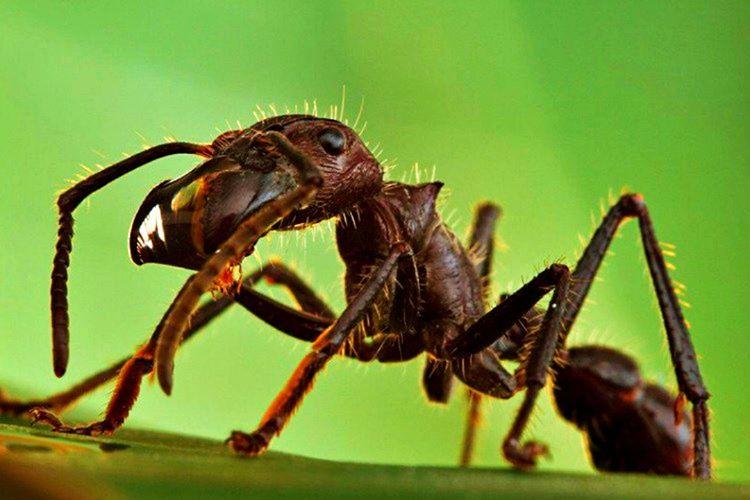 Mermi Karıncası dünyadaki tüm karıncaların en büyüğüdür ve ısırmaları bir merminin bedeninize isabet etmesi kadar can yakıcıdır.
