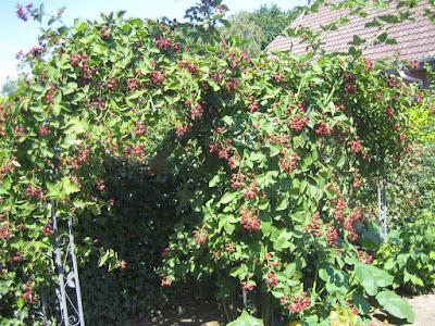 Ideen aus dem Garten: Riesiger Brombeerbusch zwischen zwei Rosenbögen bei Bloggerin Tina vom Dorf