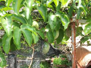 Passiflora edulis, en maceta