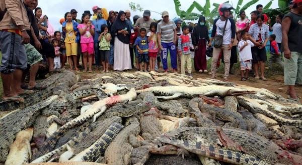 URGENTE: Matan Alrededor De 300 Cocodrilos en Indonesia