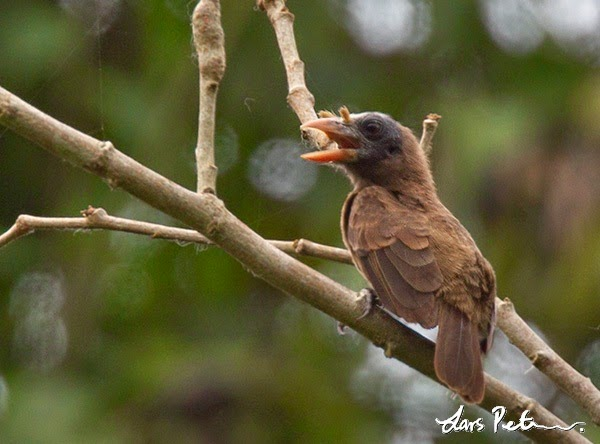 Bristle nosed Barbet