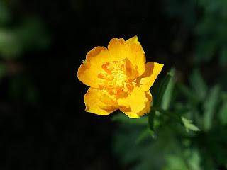 Trollius × cultorum 'Orange Princess'