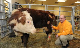 Angus, todo padrote para produccion de carne