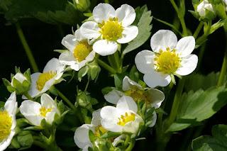 Flores de la Planta de Fresas