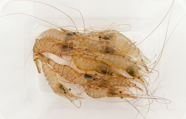 Photo of some of the shrimps we caught in our crab net