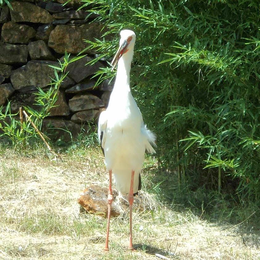 Pelicano, Ave da Fauna Brasileira, em Gramado