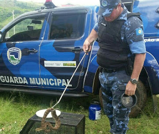 Guarda Municipal captura duas cobras cascavéis dentro de paiol em Botucatu