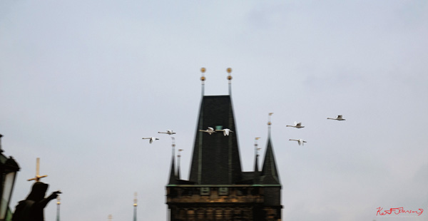 Swans fly past the tower. The Charles Bridge in Spring Prague by Travel and Lifestyle Photographer Kent Johnson.