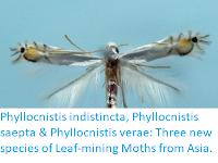 http://sciencythoughts.blogspot.co.uk/2018/03/phyllocnistis-indistincta-phyllocnistis.html