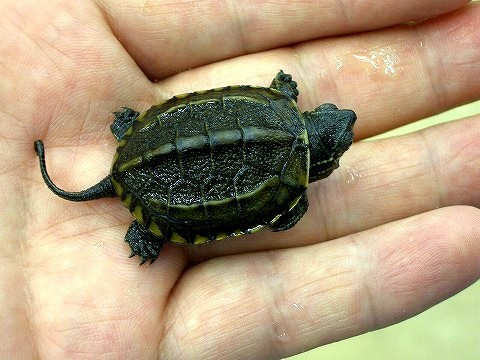 Japanese Pond Turtle (For Japan only)