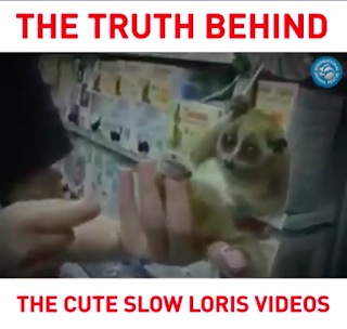 The Truth behind the cute slow loris