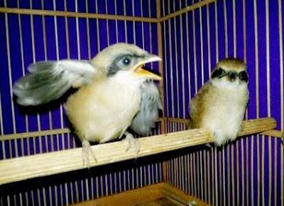 Cara Akurat Membedakan Trotol Burung Pentet Jantan/Betina