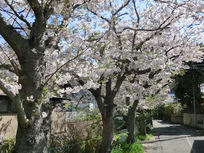 大江広元邸跡碑前の桜