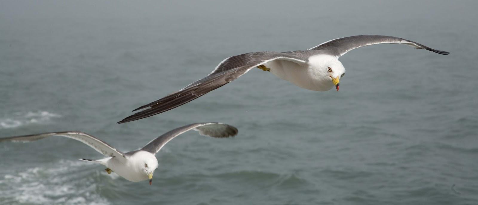 松島の海を飛ぶ二羽の鴎