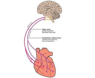 Gambar otak dan jantung