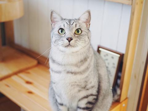 おすまし顔のサバトラ猫