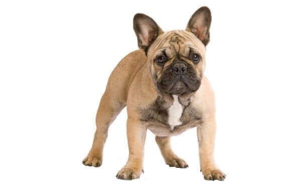 french bulldogh