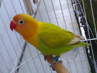 Lovebird Pastel HIjau