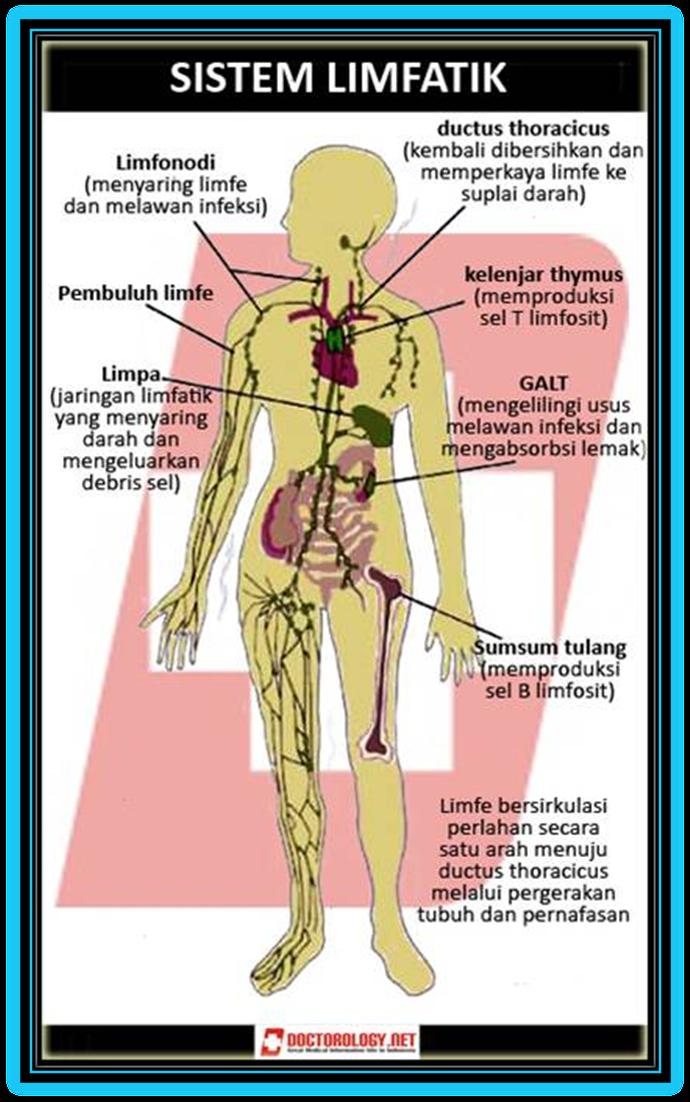 Peredaran Darah Getah Bening : peredaran, darah, getah, bening, Wawasan,