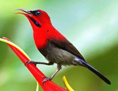 kolibri sepah raja www.burung45.blogspot.com