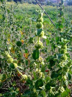 Marrubio, Marrubium vulgare