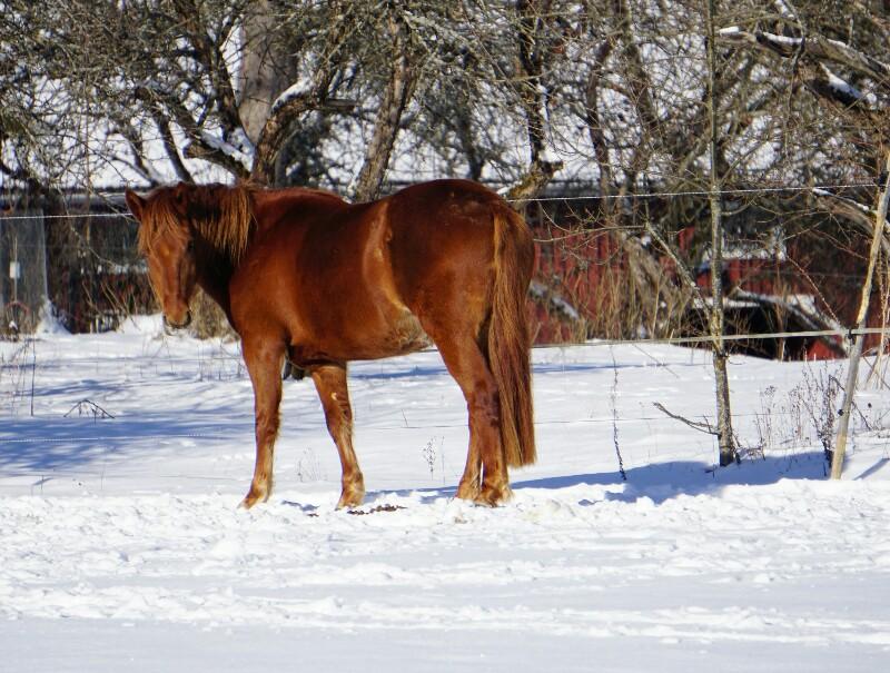 Hevonen, laidun