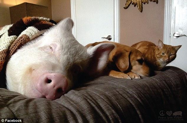 mascota-cerdo
