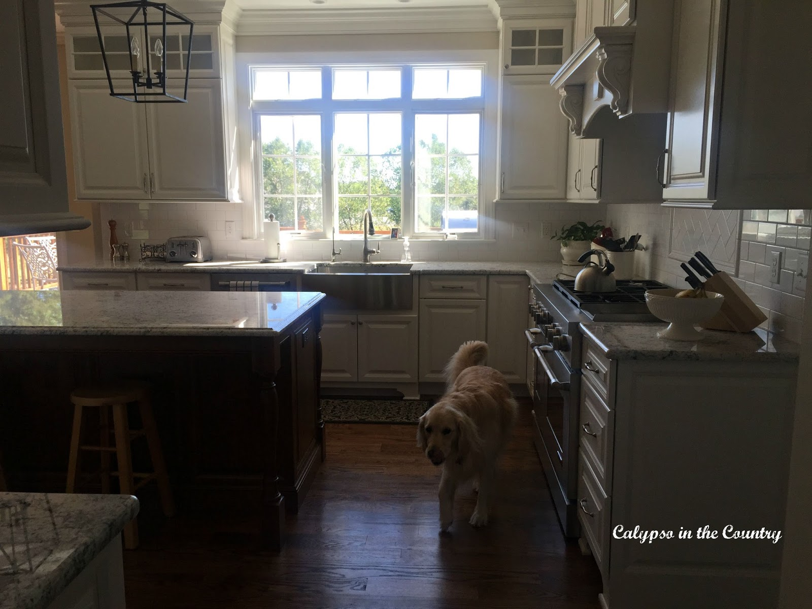 Goldend Retriever in new white kitchen